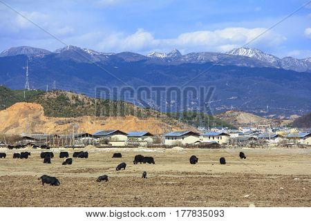 High snow mountains and Yaks in the field scenery of Shangri-La (Zhongdian) Yunnan China