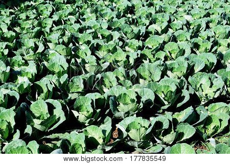Cabbages growing in a field Torre del Mar Malaga Province Andalusia Spain Western Europe.