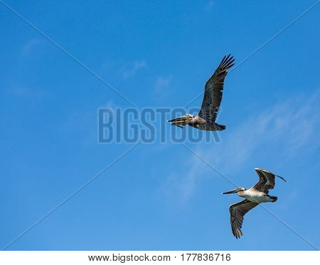 Brown pelicans in flight against a clear blue sky