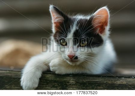 Cute kitten cat pet small domestic animal with green eyes and furry coat black and white lying on wooden fence outdoors on natural background