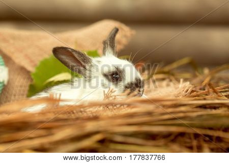 Cute rabbit small bunny domestic pet with long ears and fluffy fur coat sitting in natural hay on blurred brown wooden background