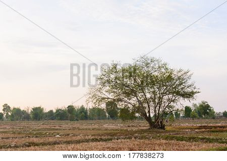A tree stands on a cornfield.tree alone