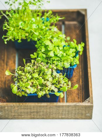 Radish kress, water kress and coriander sprouts in blue plastic pots on wooden tray over white marble background, selective focus