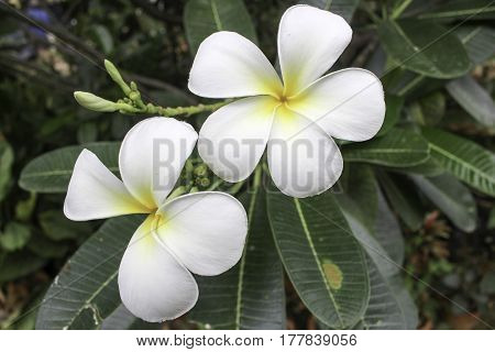 Plumeria is a genus of flowering plants in the dogbane family Apocynaceae. It contains primarily deciduous shrubs and small trees. They are native to Central America Mexico the Caribbean and South America as far south as Brazil but can be grown in tropica