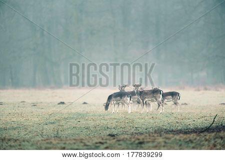 Group Of Fallow Deer In Misty Meadow.
