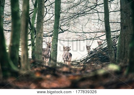 Alert Fallow Deer Looking Through Trees In Forest.