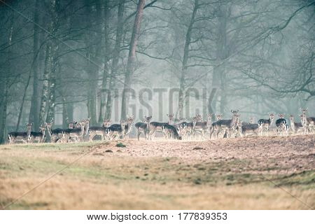 Large Group Of Fallow Deer In A Row In Misty Forest Meadow.