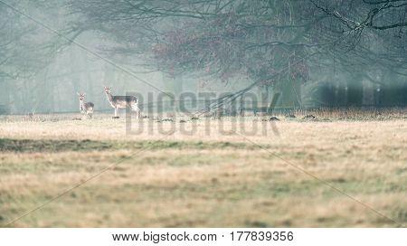 Two Fallow Deer Doe Standing In Meadow Near Misty Forest.