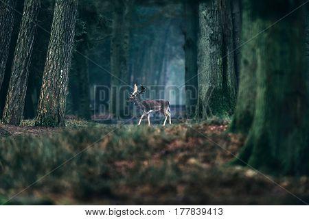 Fallow Deer Crossing Path In Misty Forest.