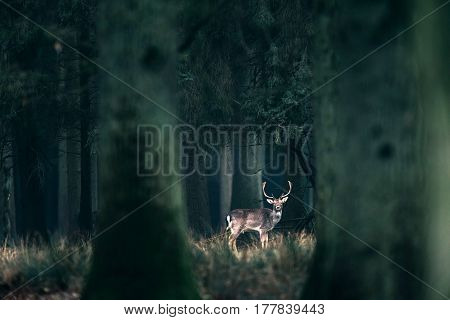 Male Fallow Deer Standing In Tall Grass Of Forest.