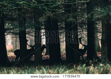 Silhouettes Of Fallow Deer Between Trees Of Forest.