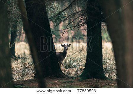 Fallow Deer Buck Peeking Between Trees Of Forest.