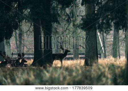 Silhouette Of Fallow Deer Standing Under Tree.