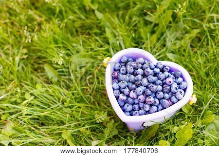 Bucket full of tasty healthy blueberries on green grass background at self picking berry farm. Bucket as heart on organic field or plantation
