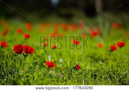 A close up of red anemone flowers field