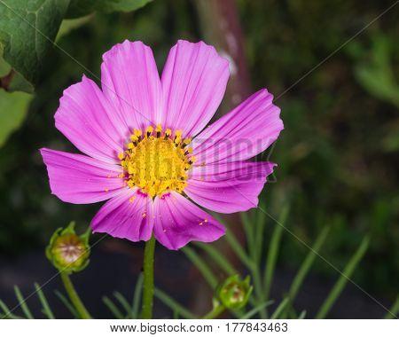 Mexican Aster or Garden cosmos Cosmos bipinnatus purple flower close-up selective focus shallow DOF.