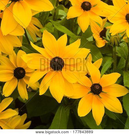 Black Eyed Susan Rudbeckia hirta red and yellow flowers close-up selective focus shallow DOF.
