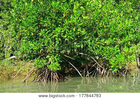 Mangroves in the water at the Khao Sam roi Yot national park Thailand