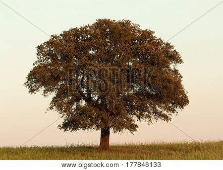 Lonely holm oak rounded of fog in Extremadura