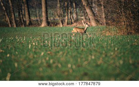 Roe Deer Buck With Bark Antlers Walking Towards Bushes.