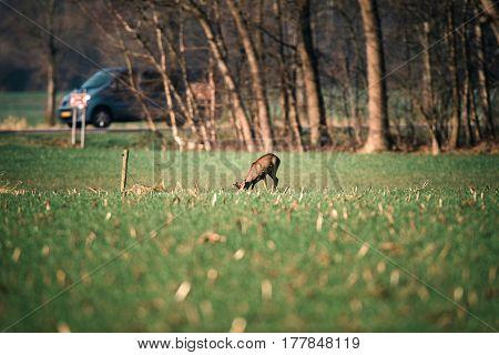 Grazing Roe Deer Buck With Bark Antlers.