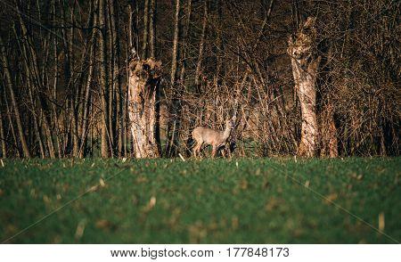 Roe Deer Doe In Meadow Near Bushes.