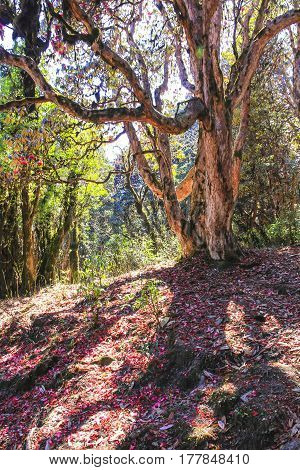 Old big Rhododendron tree and Annapurna trekking trail in forest very famous trekking route in Nepal