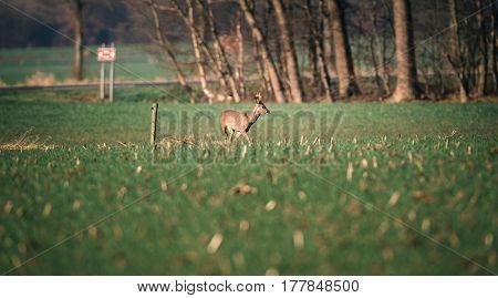 Roe deer buck walking in a meadow.
