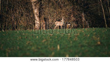 Two Roe Deer In Meadow Near Bushes.