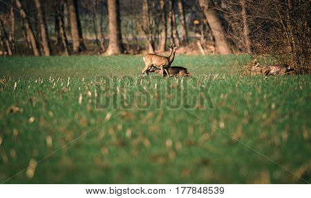 Roe Buck In Field With Two Deer Running By.