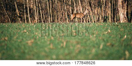 Roe Deer Buck Walking In Grass Along Trees.