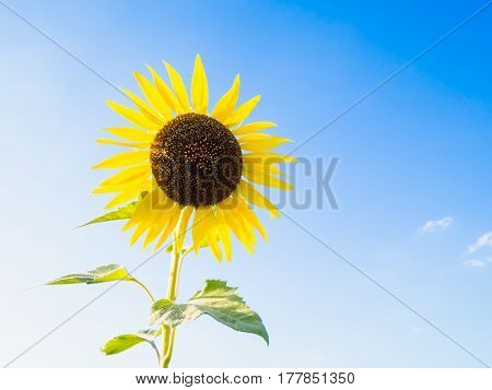 sunflower with blue sky on sunny day