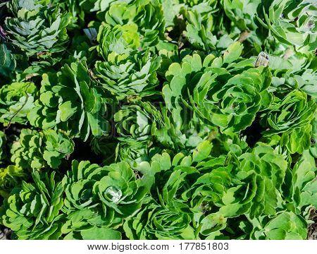 Green Leaves Aquilegia Columbines Of Background Texture