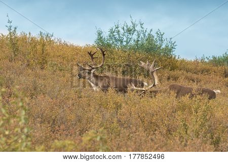 barren ground caribou bulls in velvet in Denali National Park Alaska in early fall