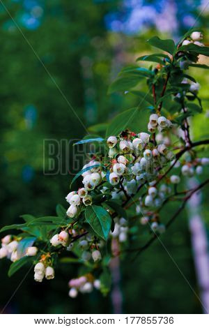 Blueberry Blossoms In Spring With Bee