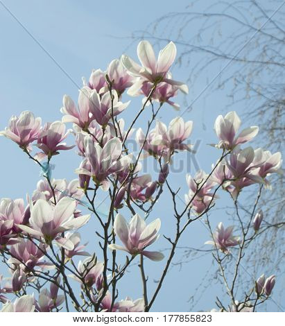 Magic magnolia touching blue sky, announcing spring
