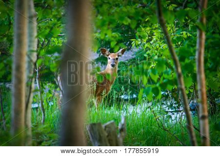 Young Deer In Green Meadow