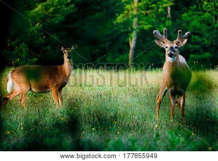 Young Deer In Green Meadow