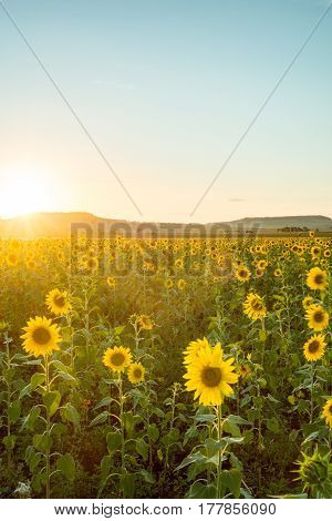 A field of sunflowers in the countryside of Queensland, Australia, near the towns of Felton and Toowoomba.