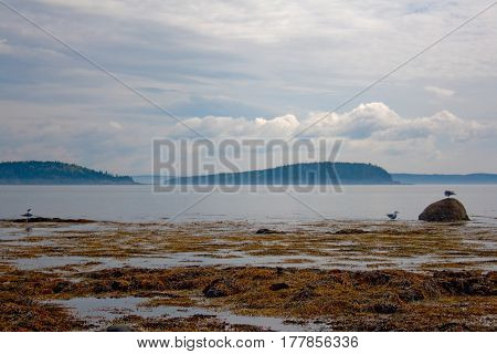 Seascape At Low Tide With Seaweed And Gulls