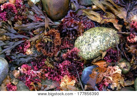 Pile Of Colorful Seaweed Along The Coast Of Maine