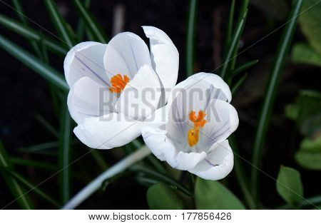 Closeup view of white crocus flowers in garden