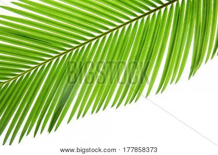 Green leaf of palm tree on white background, closeup