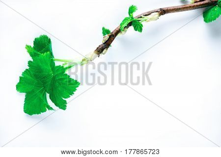Blackcurrant twig with first leaves in spring. Isolated over white background