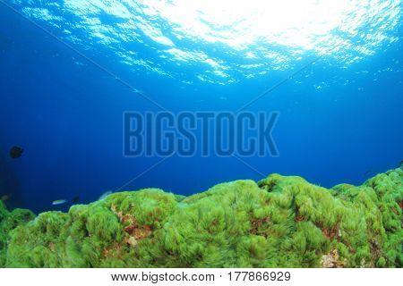 Green algae underwater and blue ocean background