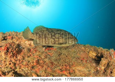 Grouper fish underwater
