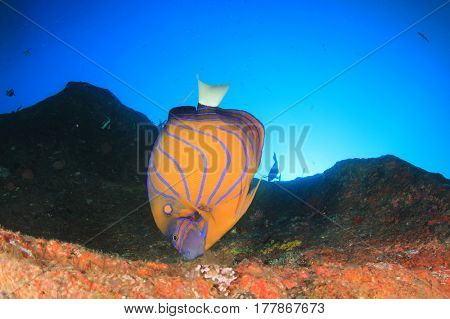 Blue Ringed Angelfish fish