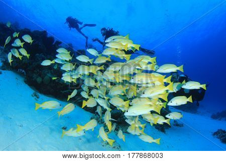 Scuba diving on coral reef with school Bluelined Snapper fish