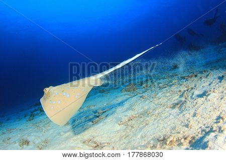 Blue spotted Stingray, scuba divers in background