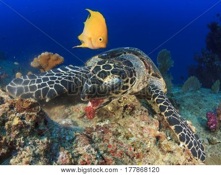Yellow Damselfish and Hawksbill Sea Turtle